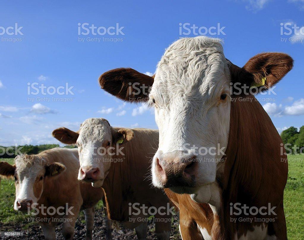 Cow trio royalty-free stock photo