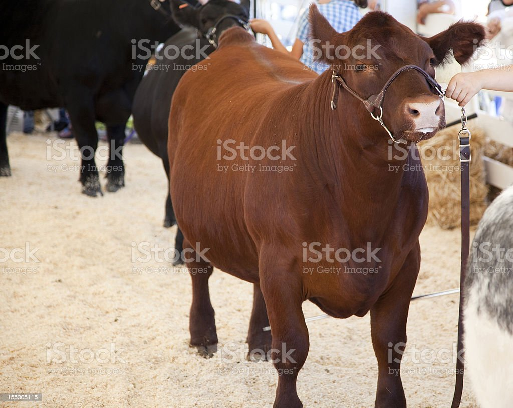 Cow Wait royalty-free stock photo