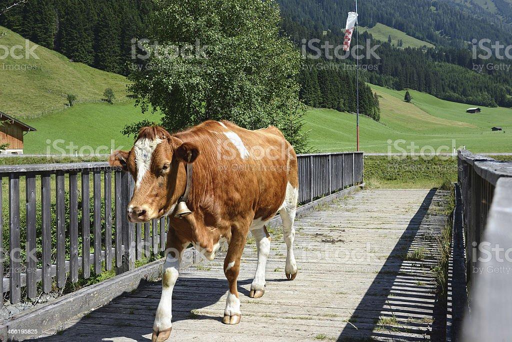 cow walking across a bridge royalty-free stock photo