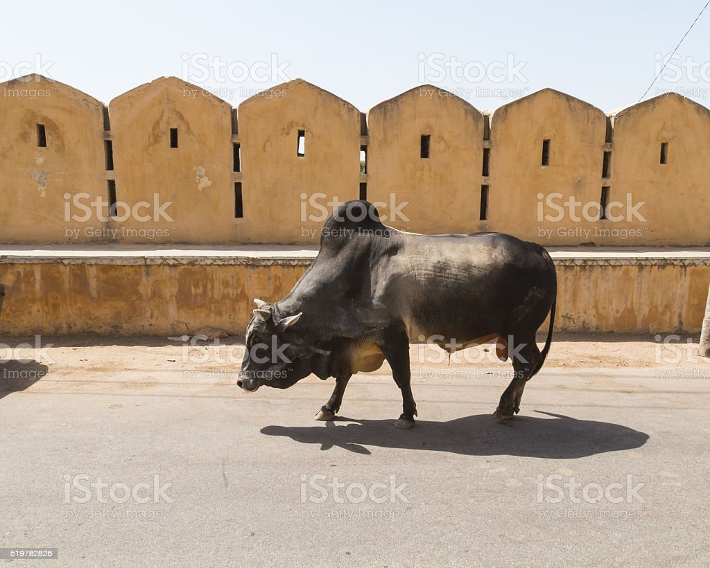 Cow Walking along the Road stock photo