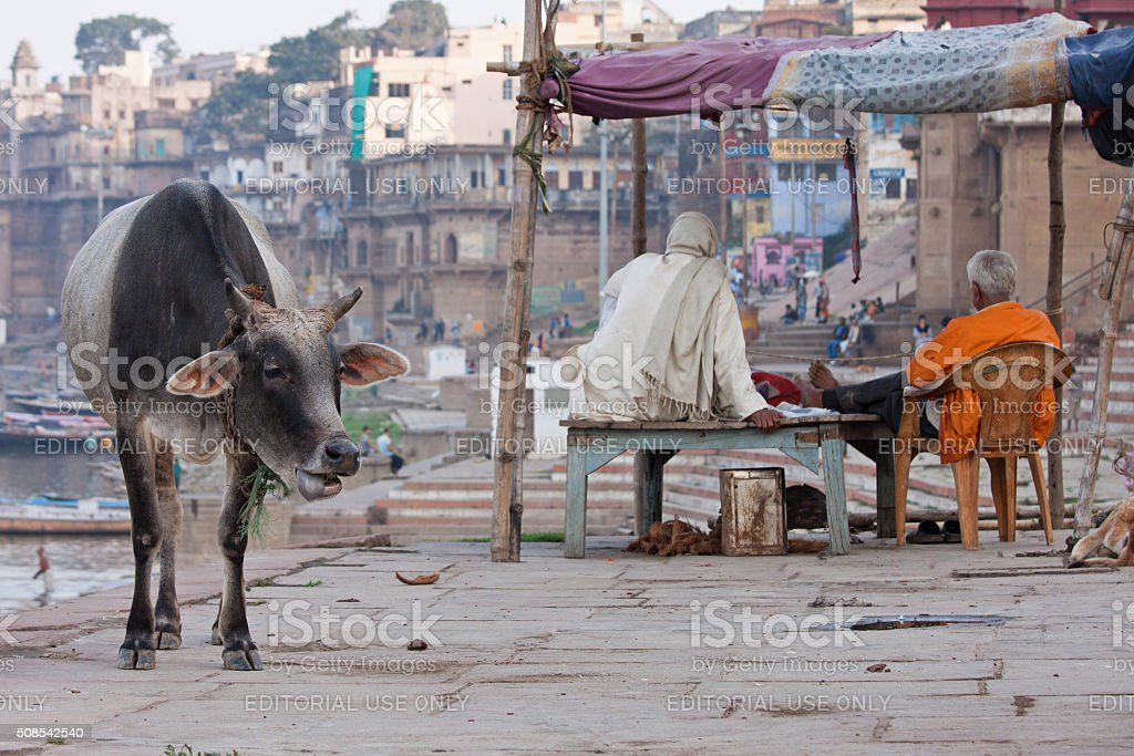 Cow wandering on the banks of the river Ganges, Varanasi stock photo