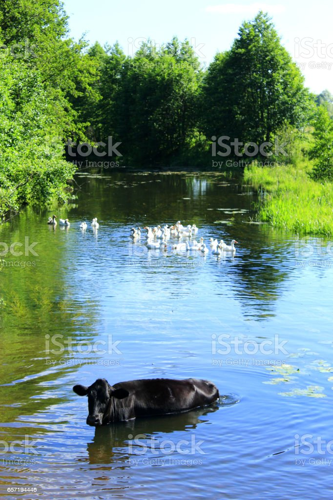 cow washes in the river stock photo