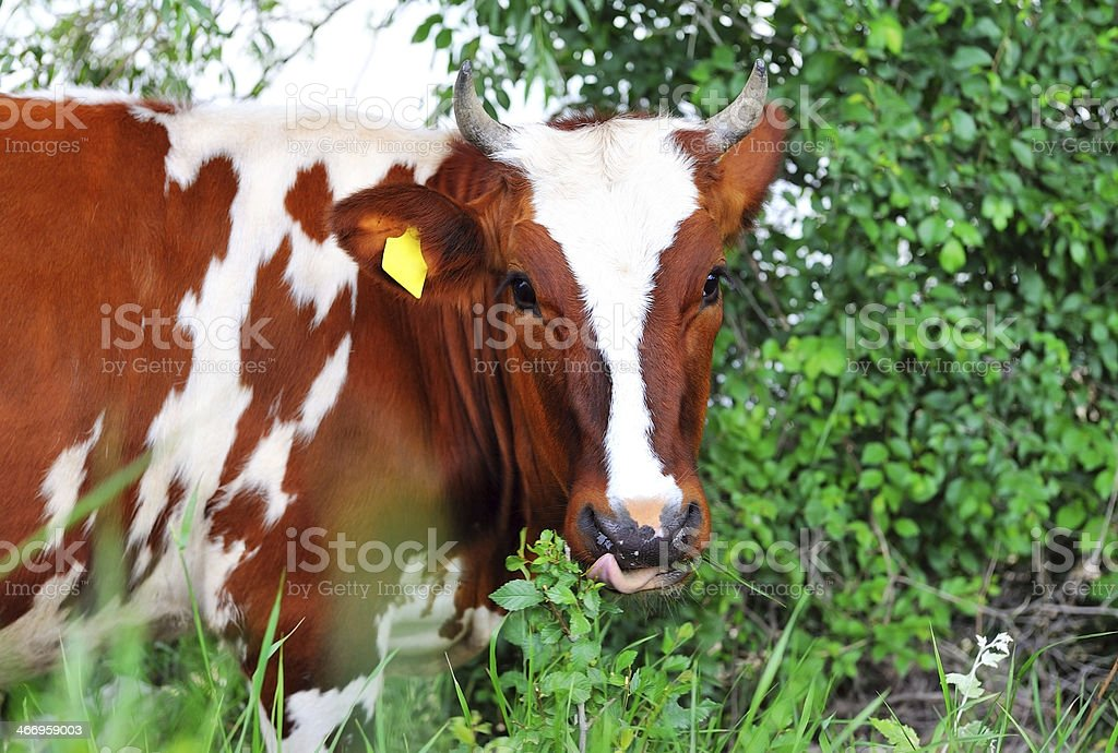 Cow white and brown  licked. royalty-free stock photo