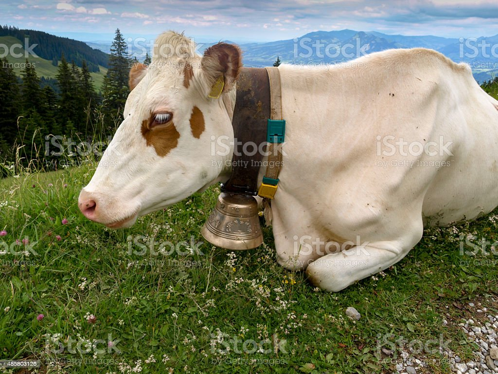 Cow with a cowbell royalty-free stock photo
