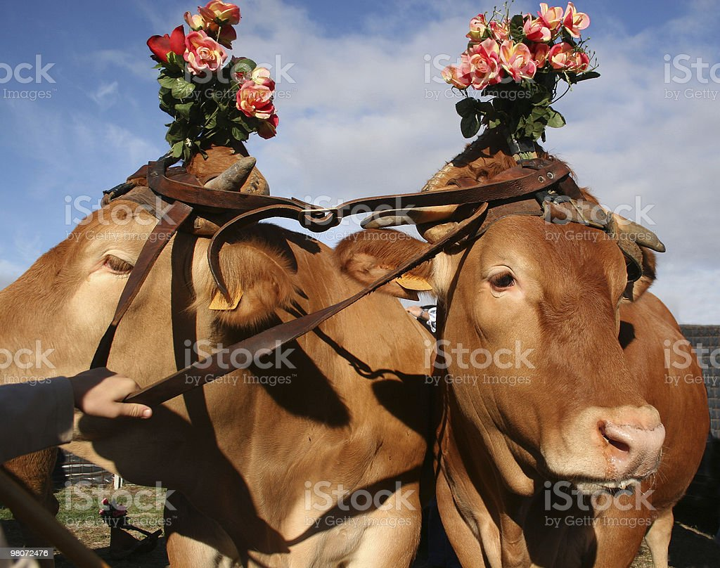 Cow with a flower royalty-free stock photo