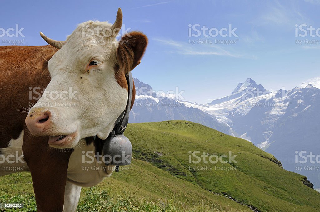Cow with a view stock photo