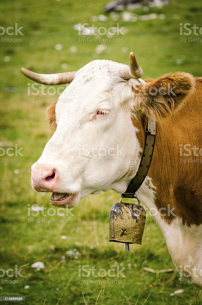 Cow with a yellow cowbell stock photo