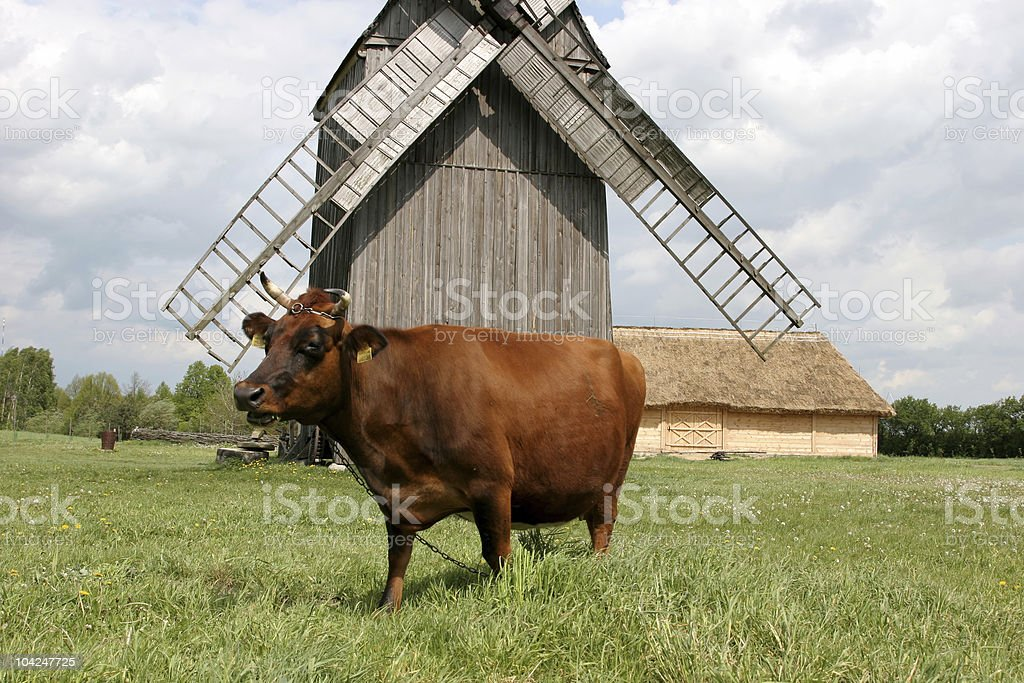 Cow with an old windmill in the background royalty-free stock photo