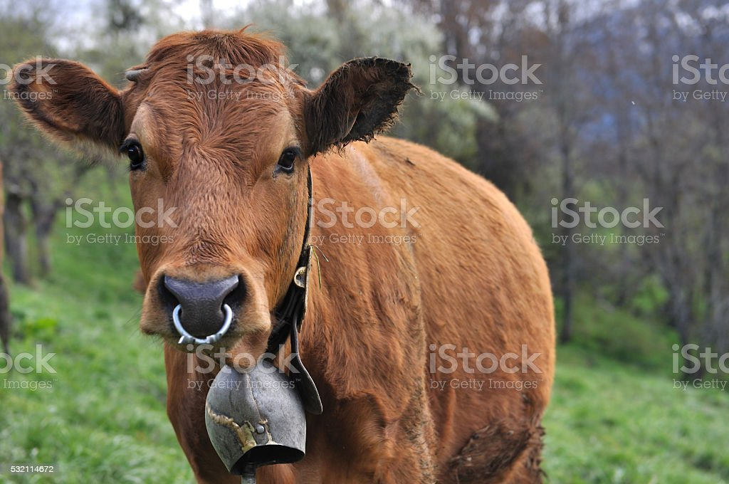cow with bell and ring stock photo