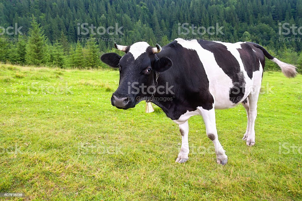 cow with bell on meadow in the mountains stock photo