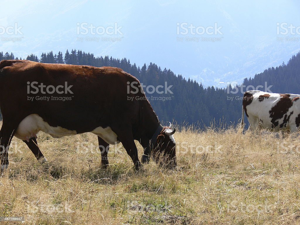 Kuh mit bell Lizenzfreies stock-foto