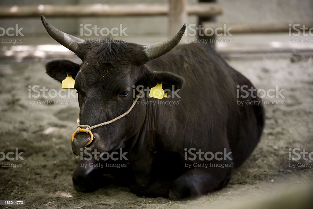 cow with eartag royalty-free stock photo