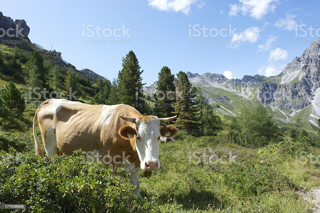Cow with mountains royalty-free stock photo