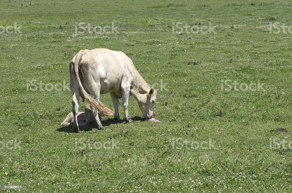 Cow with Newborn Calves stock photo