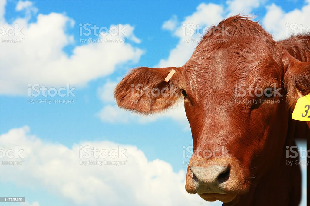 Cow with Sky stock photo