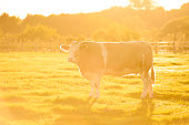 Cow with sun setting behind