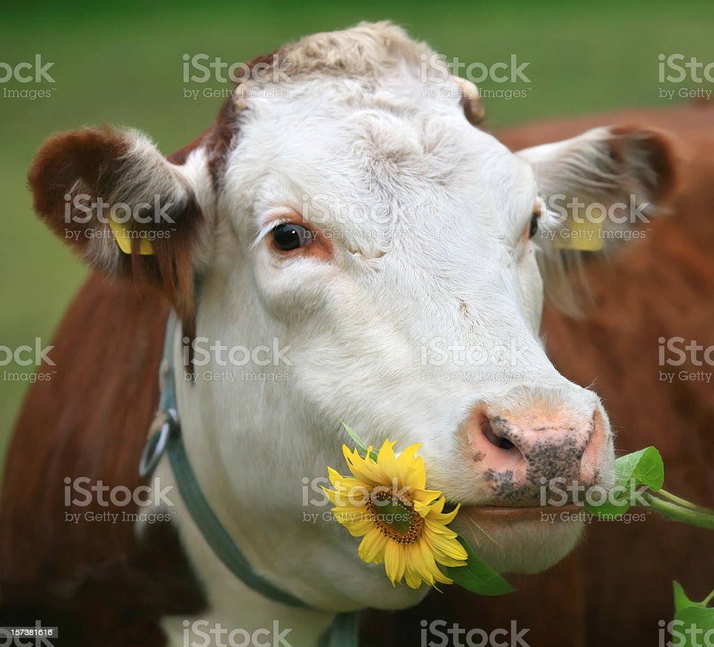 Cow with sunflower in her mouth stock photo