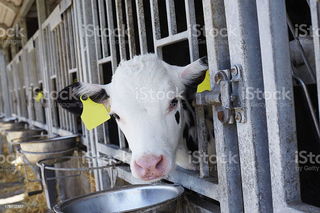 Cow with tag looking through fence in barn royalty-free stock photo