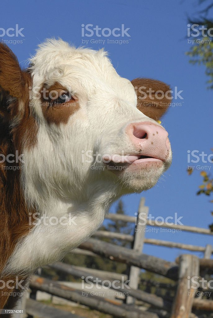 Cow with tongue royalty-free stock photo