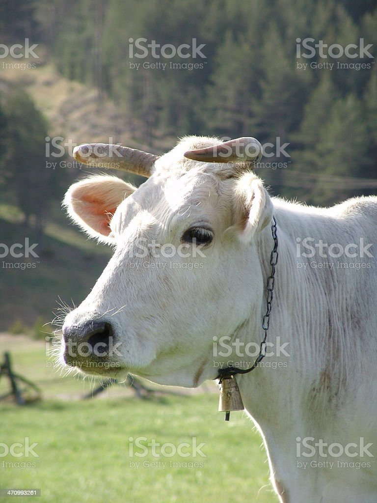 Cow04 foto stock royalty-free
