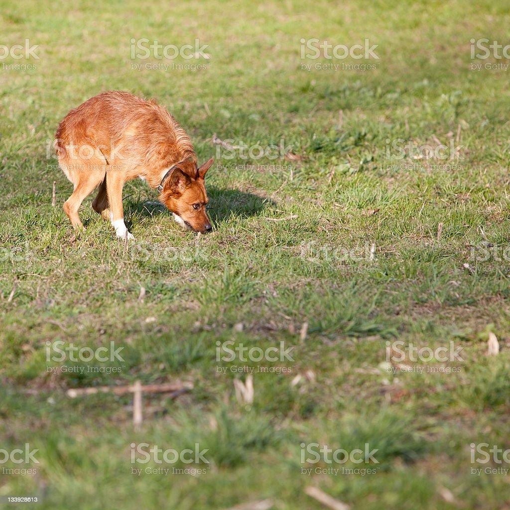 cowardly chestnut mixed-bred dog stock photo