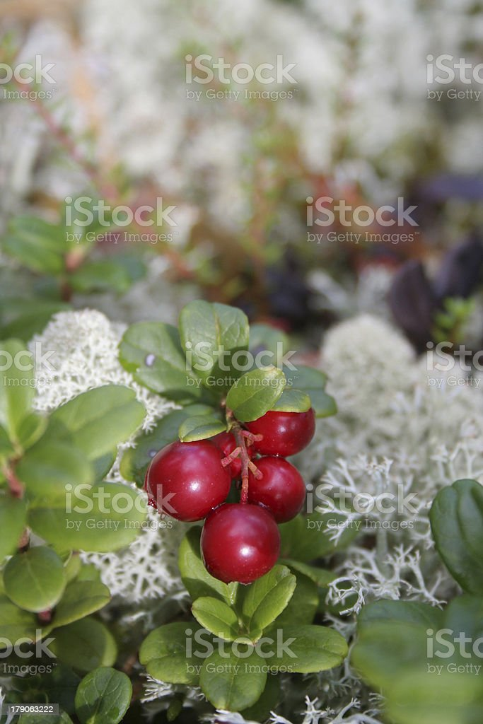 Cowberries royalty-free stock photo
