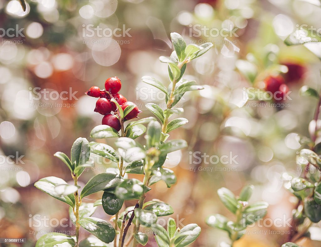 Cowberry. Bushes of ripe forest berries. stock photo