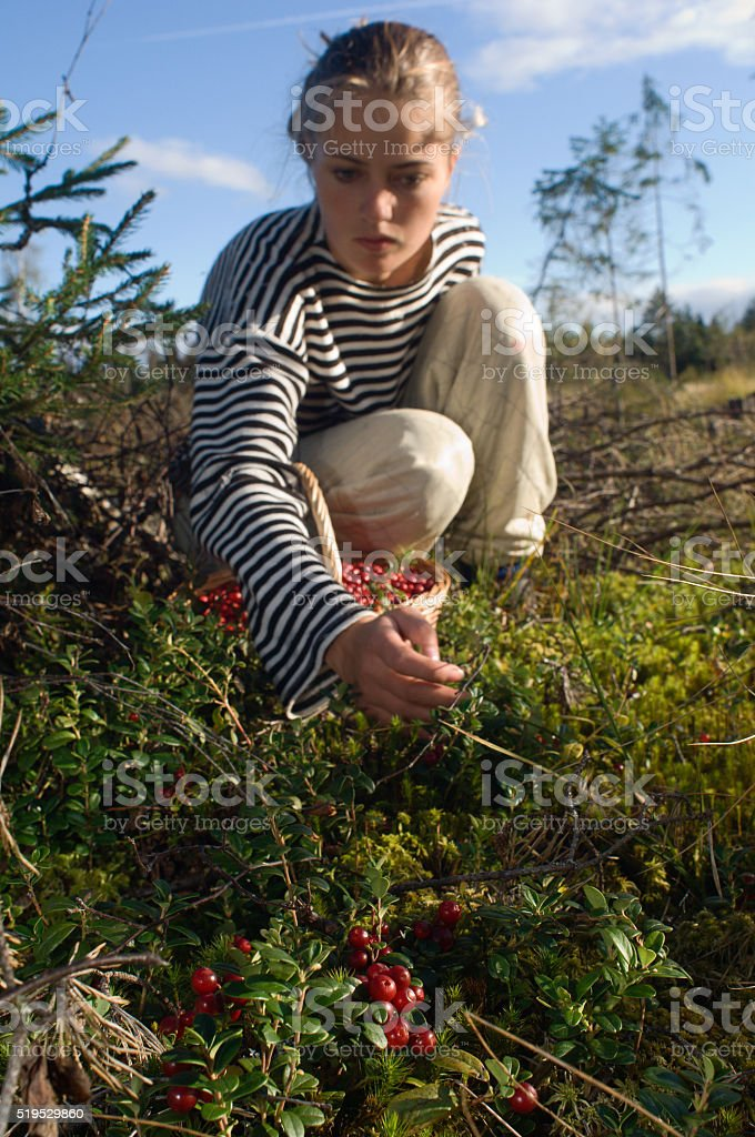 Cowberry gathering stock photo