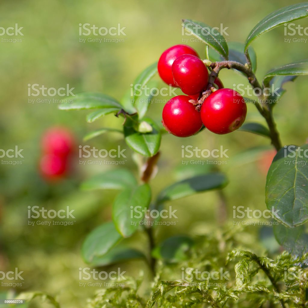 cowberry in wood stock photo