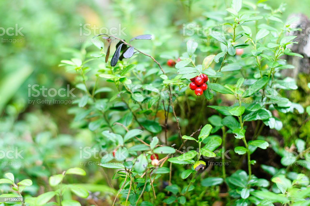 cowberry on green vegetative background in wood stock photo