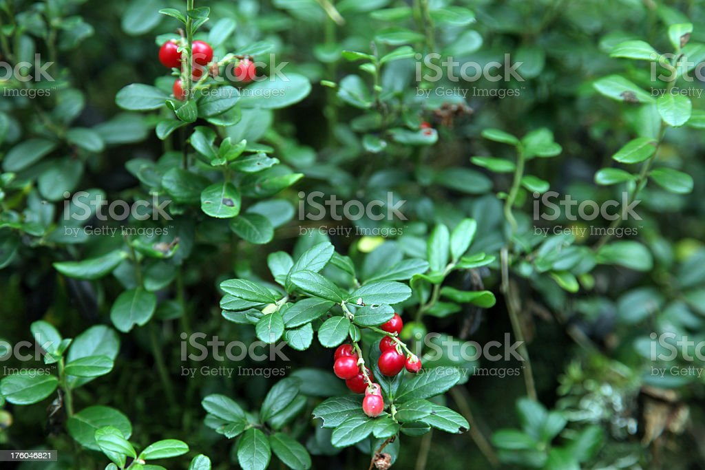 Cowberry. royalty-free stock photo
