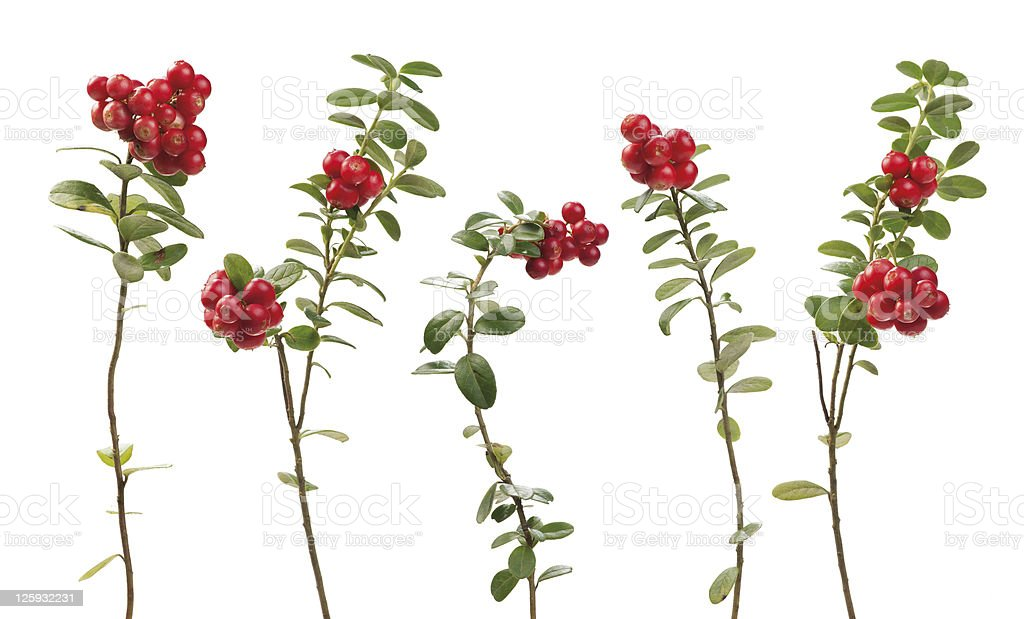 Cowberry twigs stock photo