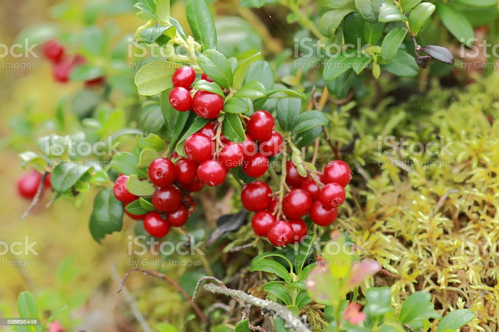 Cowberrys stock photo