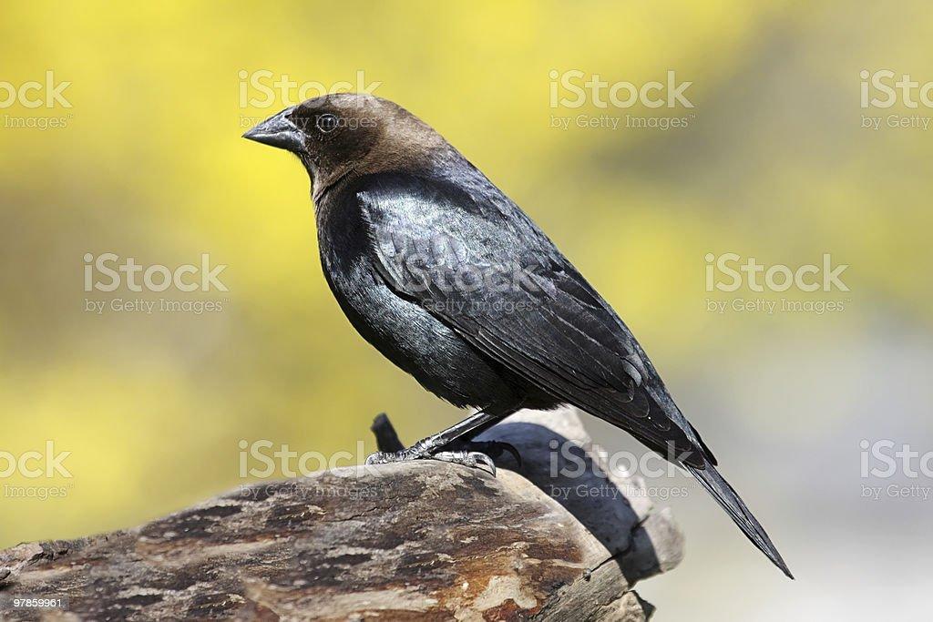 Cowbird On A Perch stock photo