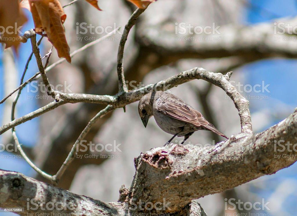 Cowbird (2) stock photo