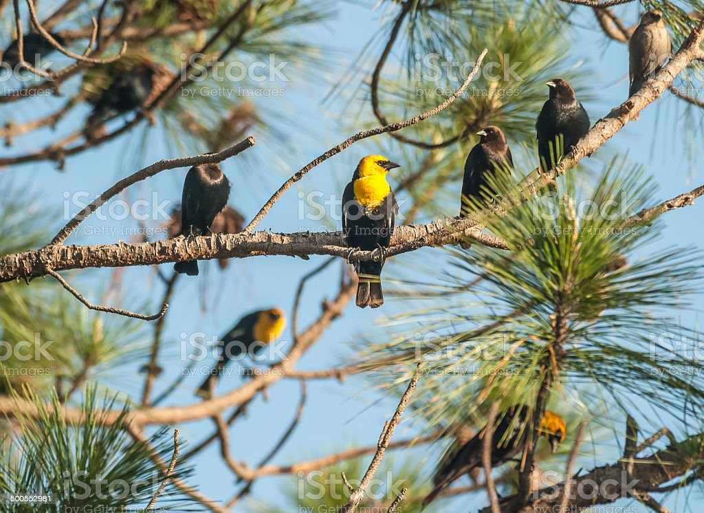 Cowbirds and Blackbirds flock together stock photo