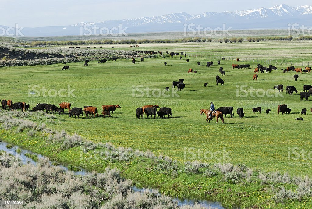 Cowboy and Cattle with Snow covered Mountains stock photo