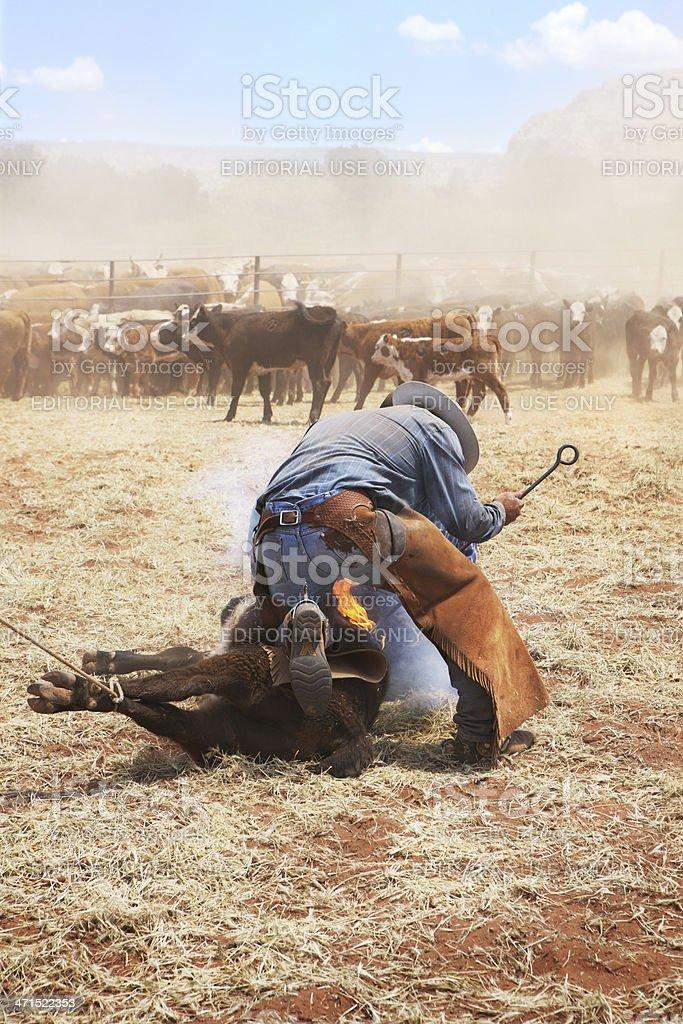Cowboy Branding Cattle Herd royalty-free stock photo