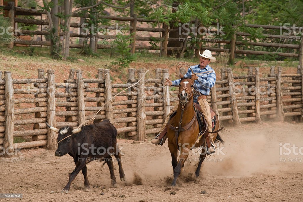 Cowboy chasing cow stock photo
