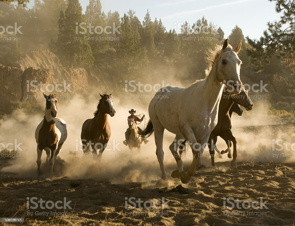Cowboy chasing five running horses towards camera-backlit dust royalty-free stock photo
