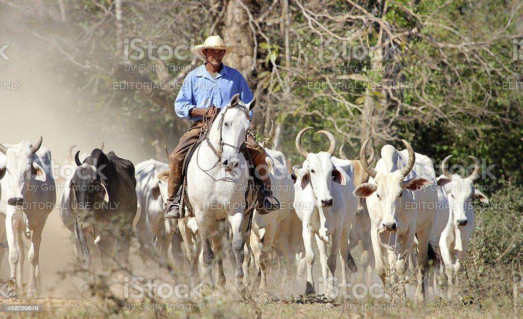 cowboy herding cattle in Pantanal Wetlands Brazil stock photo
