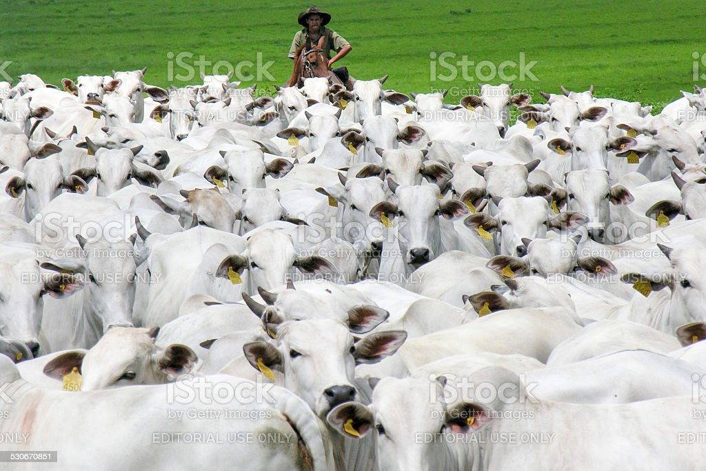 cowboy herding cattle stock photo