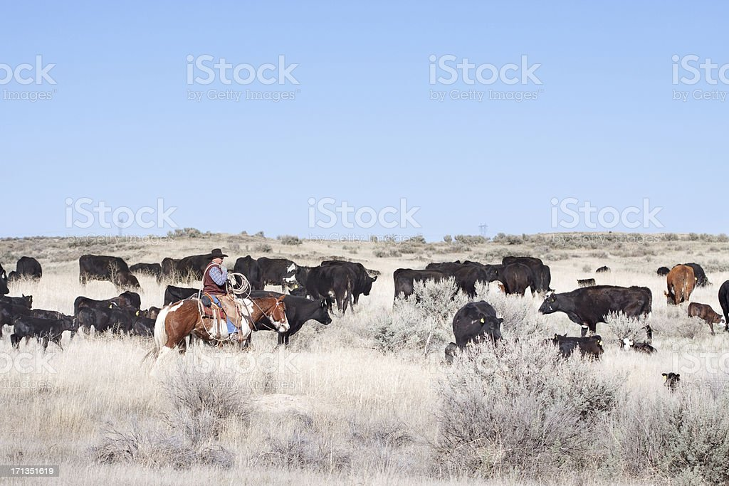 Cowboy Herding of Angus Cattle on Open Range royalty-free stock photo