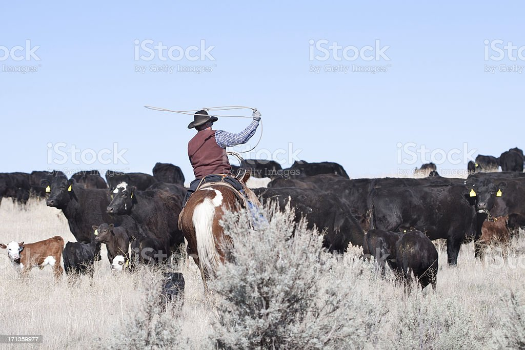 Cowboy Herding of Angus Cattle on Open Range stock photo