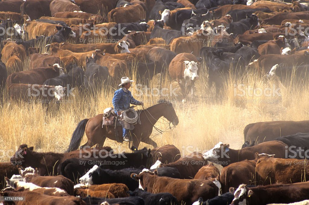 Cowboy on Horse During Cattle Roundup stock photo