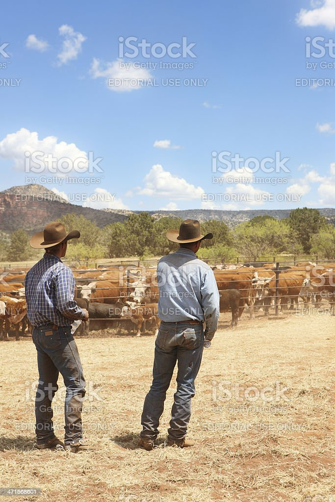 Cowboy Rancher Wranglers Herding Cattle stock photo