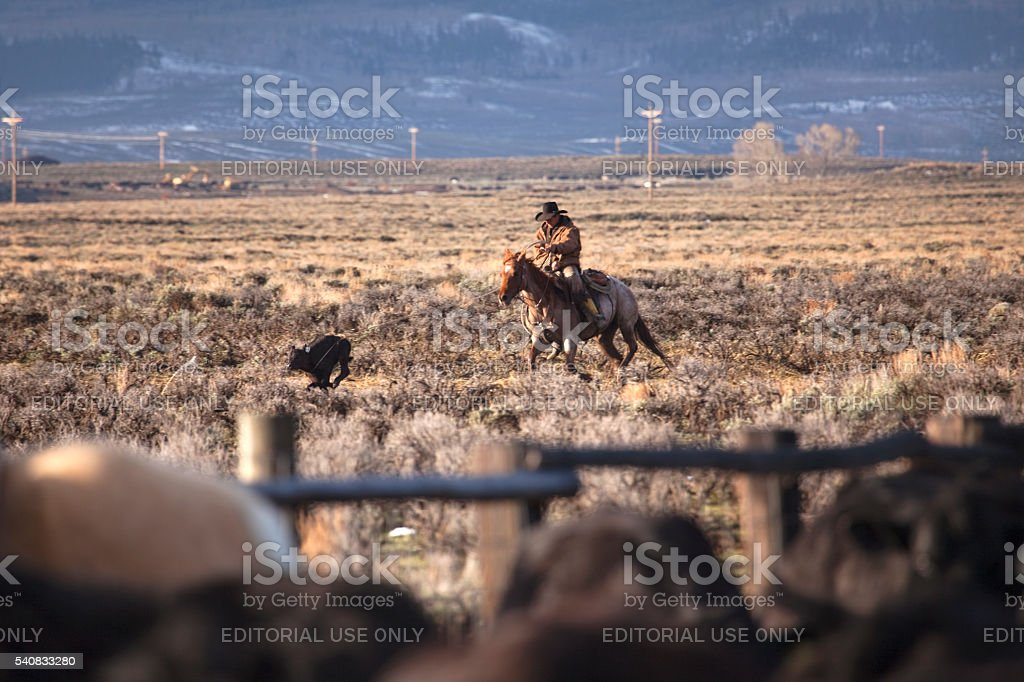 Cowboy ropes cow calf during spring roundup North Park Colorado stock photo