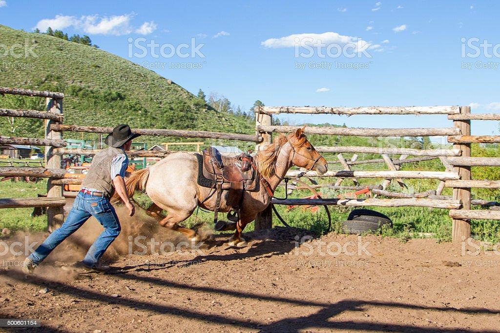 Cowboy training a wild horse stock photo