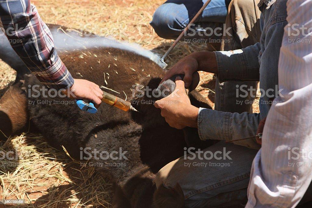 Cowboy Veterinarian Cattle Vaccination Branding stock photo