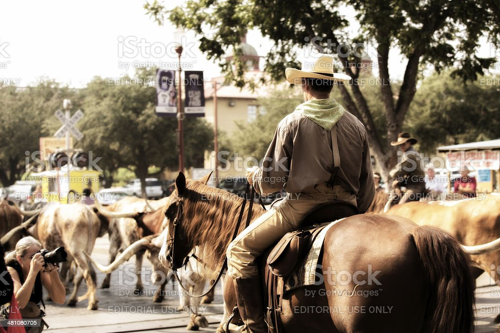 Cowboys drive cattle down streets at Fort Worth, Texas stockyards. stock photo